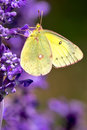 Clouded sulphur butterfly perched on a purple flower Stock Photography