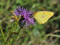Clouded yellow butterfly colias croceus female underside on greater knapweed centaurea scabiosa Royalty Free Stock Photos