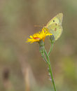 Clouded yellow butterfly a colias feeds from the pollen of a flower Stock Photography