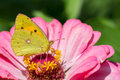 Clouded yellow butterfly on a pink zinnia flower Stock Photo