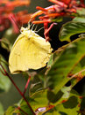 Cloudless sulphur butterfly collecting nectar from a firebush flower Stock Photography