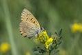 Cloudless sulphur phoebis sennae sitting on a flower Royalty Free Stock Images