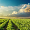 Clouds in sunset over green agricultural field with tomatoes Royalty Free Stock Photo