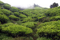 Clouds and tea plantation in cameron highlands malaysia Stock Photos