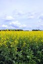 Cloudy Blue skies  over Field of Manitoba Canola Royalty Free Stock Photo