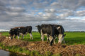 Cloudy cows are grazing the last grass of the season near oosterlittens friesland netherlands Royalty Free Stock Image