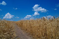 Cloudy sky and field golden Royalty Free Stock Photos
