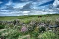 Cloudy sky over grazing cows in wild meadow by the sea Royalty Free Stock Photography