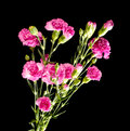 Clove pink flower bouquet close up top view magenta color flowers on the black background Stock Image