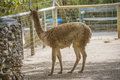 Cloven hoofed animals in the zoo picture is shot lagos portugal Stock Image