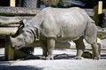Cloven hoofed herbivorous mammal rhinoceros savanna horn three fingers overweight symbol zoo Stock Photo