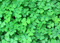 Clover background from green leaf Stock Image