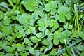 Clover with dew drops at dawn. Wallpaper green clover in dew. Background st ptrick\'s day Royalty Free Stock Photo