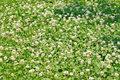 Clover field background white dutch trifolium repens with flowers Stock Images
