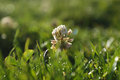 Clover flower blooming in the grass Stock Photos