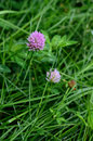Clover flower in green grass Royalty Free Stock Photo