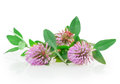 Clover flowers on a white background Royalty Free Stock Photo