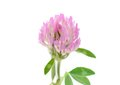 Clover grass flower a purple Stock Photography