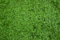 Clover grass texture Royalty Free Stock Photo