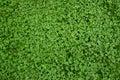 Clover grass texture