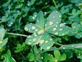 Clover leaf.