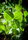 Clover leaves close up photo of trifolium pratense red is a species of native to europe western asia and northwest Royalty Free Stock Photo