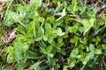 Clover leaves green trefoil plant as background for spring Stock Image