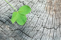 Clover on the old wooden background in nature Royalty Free Stock Photography