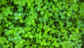 Clover texture. Green shamrock background. St. Patrick Day background. Royalty Free Stock Photo