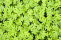 Clovers Royalty Free Stock Image