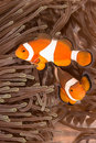 Clow Anemone Fish Royalty Free Stock Photo