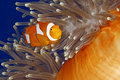 Clown Anemonefish Royalty Free Stock Photo