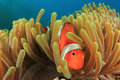 Clown anemonefish in underwater anemone Royalty Free Stock Photo
