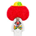 Clown dog with red wig and hat Stock Image