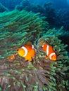 Clown family fish tropical Στοκ Φωτογραφίες