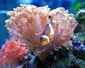 Clown fish Royalty Free Stock Photo