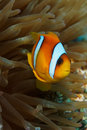 Clown fish (Amphiprion bicinctus) - Red Sea Stock Images
