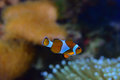 Clown fish with different corals in the background particularly recognizable Sea Anemone on the bottom right Royalty Free Stock Photo