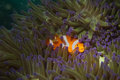 A clown fish family close up portrait on blue anemone Stock Image