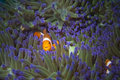 A clown fish family close up portrait on blue anemone Stock Images