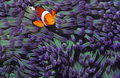 Clown fish hiding among sea anenomies Royalty Free Stock Images