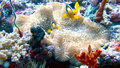 Clown fish - Nemo in the coral reef Stock Photos