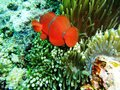 Clown fish at photo took underwater off manado island indonesia Royalty Free Stock Photo