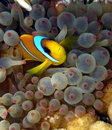 Clown Fish in purple anemone Royalty Free Stock Photos