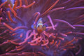Clown fish a red and white coming out of red coral Royalty Free Stock Image