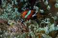 Clown fish in sea anenome Stock Photography