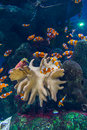 Clown fishes in aquarium and zebrasoma yellow fish Stock Images