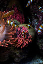 Clown fishes and sea anemone Royalty Free Stock Photo