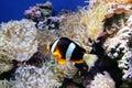 Clown Fishy Royalty Free Stock Photo