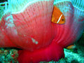 Clown nemo - anemone fish Royalty Free Stock Photography